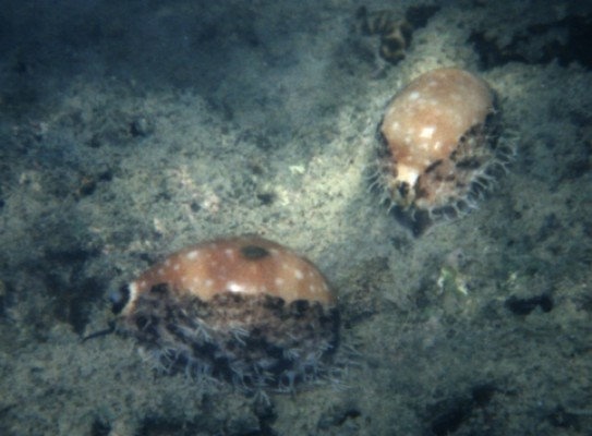 Cypraea Vitelus couple