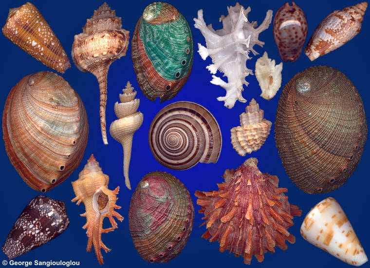 Some Seashells from 3-7 February 2019 auction.