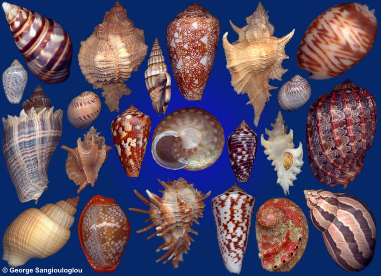 Some Seashells from 7-11 January 2018 auction.