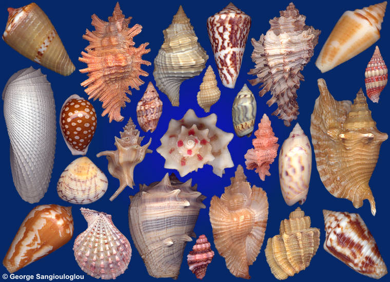 Some Seashells from 3-7 November 2019 auction.