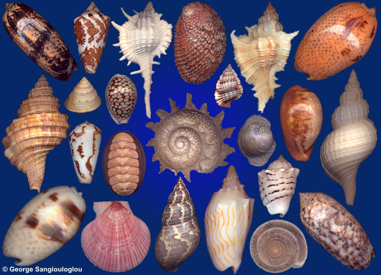 Some Seashells from 7-11 October 2018 auction.