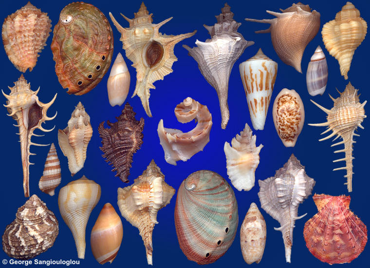 Some Seashells from 6-10 October 2019 auction.